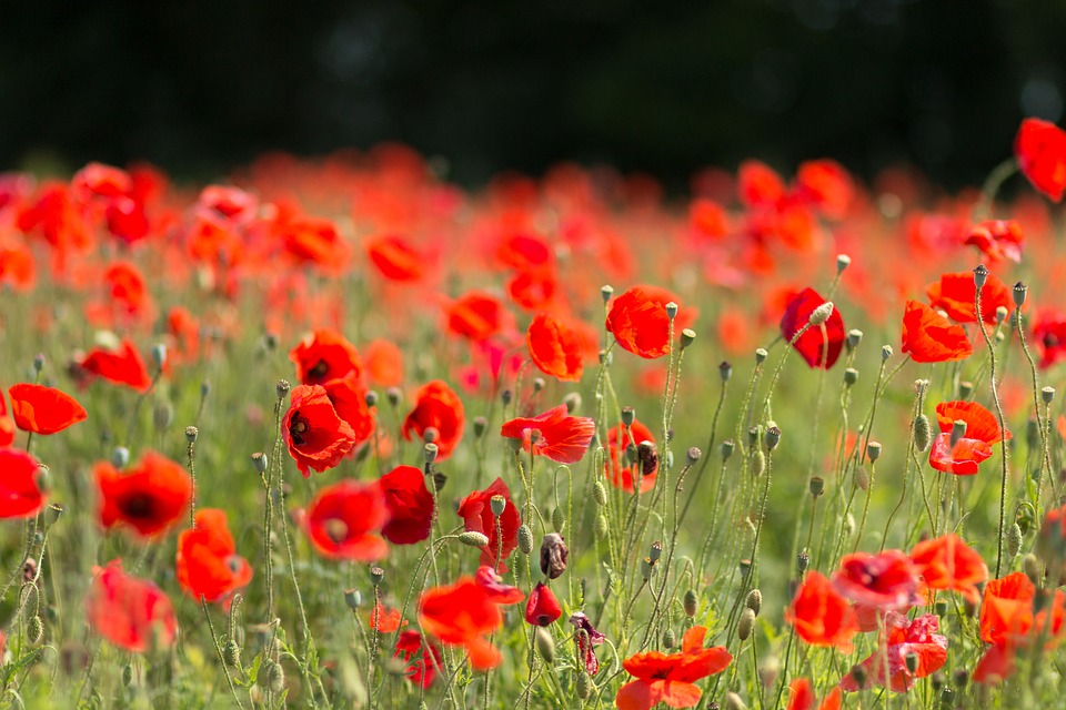 Lest we forget anzac day 2018 haka tours blog globally poppies are symbolic of remembrance on armistice day on november 11th once the conflict was over poppies were one of the only plants to grow on mightylinksfo